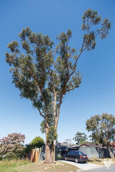 • Maylands tree to be felled by Bayswater city council. PhotobyMatthewDwyer