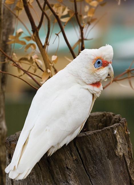 • A rare image of an eastern long-billed corella not destroying something. Photo by JJ Harrison under Creative Commons license.