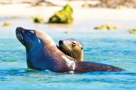 sea lions, seal island, showalwater marine park WA
