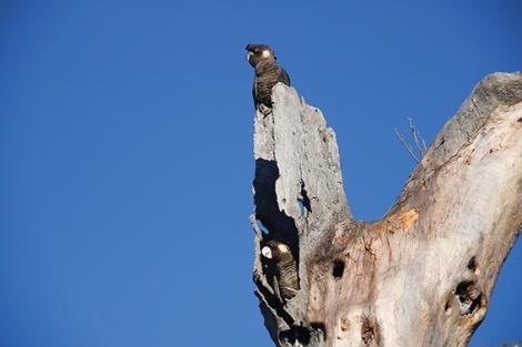 • A pair of Carnaby's black cockatoos.PhotobyAdamPeck
